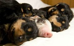 A baby pig abandoned by her mother in 2009 had found a new home after being adopted... by a Rottweiler. The little piglet faced starving when she was rejected as the runt of a litter of 13. Sasha (Rottweiler mum) had given birth to puppies of the same age so her maternal instincts kicked in when she saw baby piglet.   Such a wonderful family - I have no recent update but little piglet was to stay as part of the family. ♥   Photo - Wales News
