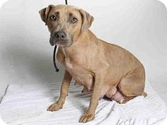 San Pedro, CA - Pit Bull Terrier. Meet MAMA, a dog for adoption. http://www.adoptapet.com/pet/13344511-san-pedro-california-pit-bull-terrier