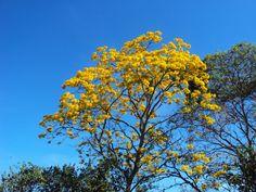 Guayacán amarillo ....