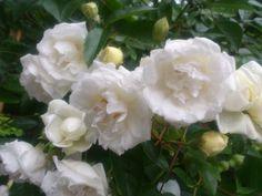 white beauties!