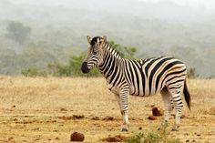 burchells zebra standing and waiting