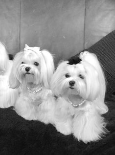 Two little dressed up cuties. #maltese