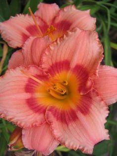 Hemerocallis Strawberry Candy Daylily                                                                                                                                                                                 More