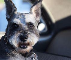Dog in Car Show 2015