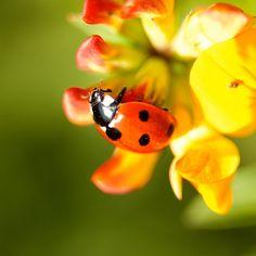 Ladybird, ladybird...