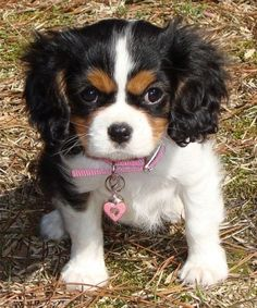 King Charles Cavalier the tri colors are so cute!!!  Bet this is what my Rosie looked like when she was just a baby!!!!!