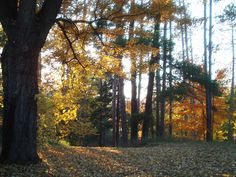 Beautiful Autumn Trees in Our Backyard (The Old Forest Motel)