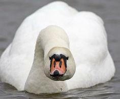 Mute Swan Swan Love, Beautiful Swan, Beautiful Birds, Golden Plover, Giving Up On Life, Mute Swan, All Birds, Bird Feathers, Cute Animals