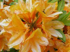 Rhododendron Rhapsody