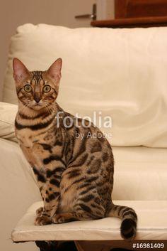 chat du bengal adulte assis sur la table basse