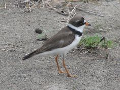 Semi-palmated Plover - Sandy Neck, Cape Cod