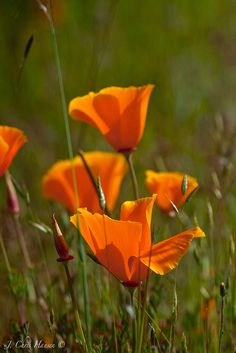 California Poppies along the Northwestern Railroad tracks in Ukiah, California this afternoon.