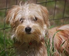 George is an adoptable Maltese Dog in Crompond, NY. George is a sweet little 7 month old 6 1/2 lb. Morkie (Maltese/Yorkie Mix) who is learning what it is like to live in a home where he is cherished. ...