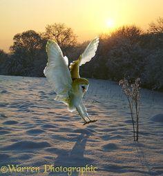 A Barn Owl (Tyto alba) alights on fresh snow at sunset.