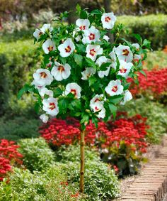 Cottage Farms Direct Empress Rose Of Sharon Tree