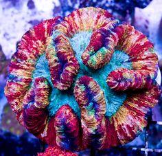 Rainbow Trachyphyllia from Cherry Corals Saltwater Tank, Saltwater Aquarium, Marine Photography, Life Under The Sea, Sea Anemone, Salt Water Fish, Reef Aquarium, Underwater Life, Ocean Creatures