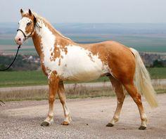 paint horse - palomino