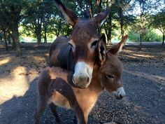 Beautiful red miniature donkey baby and her mom at Chapel Hill Farm in Roanoke, Texas. Roanoke Texas, Indestructable Dog Bed, Cute Donkey, Miniature Donkey, Texas Usa, Chapel Hill, Donkeys, Goats, Cool Photos