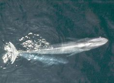 Blue Whales are seen in this undated handout photo courtesy of NOAA National Marine Fisheries Service California blue whales, once nearly extinct, back at historical levels.