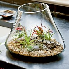 Air plants (tillandsia) in atrium terrarium