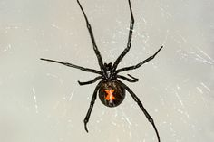 69 best get to know spiders images hand spinning spiders black widow rh pinterest com