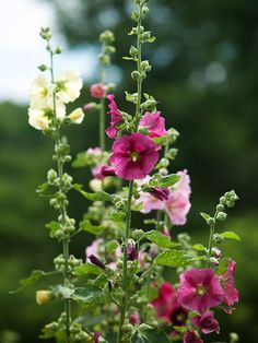 Hollyhock - Lend old-fashioned charm to your perennial border with hollyhock. Known for its tall spires of colorful blooms, hollyhock is the perfect back-of-the-border plant. Old-fashioned selections can easily grow more than 6 feet tall in a spot with full sun and moist, well-drained soil.