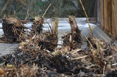 Dividing Asparagus seedlings, diging up in the winter, replanting