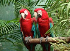 In Australia, escaped parrots are teaching the wild ones English...including profanity!  The trees are full of nonsensical, and blue, conversations!
