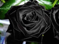 Stunning black rose. They really exist naturally only at Halfeti, Turkey.