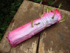 Секрет укоренения черенков роз в газете!
