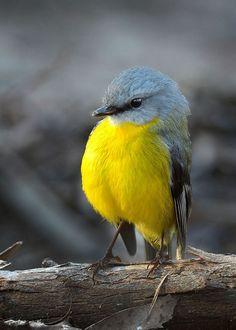 Resultado de imagem para yellow birds