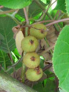 Kiwi züchten und anbauen   Pflanzen im Gewächshaus, im Garten und auf dem Balkon
