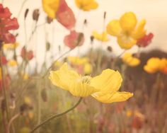 Nature Photography, Poppy Flowers, Boho, Flower Photography, Natural, Yellow, Summertime, Soft Light, 8x10 Print on Etsy, $30.00