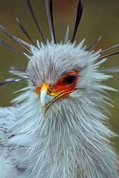 The Secretarybird Or Secretary Bird Is A Very Large Mostly Terrestrial Of Prey Endemic To Africa It Usually Found In