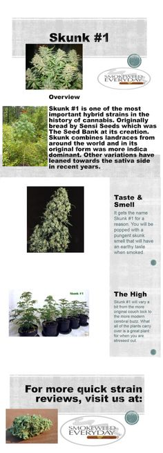 SmokeWeedEveryDay.Org for more Quick Strain Reviews!