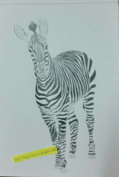 Work continues on the zebra. Coloured pencil drawing by Tracey Lee Art Designs.