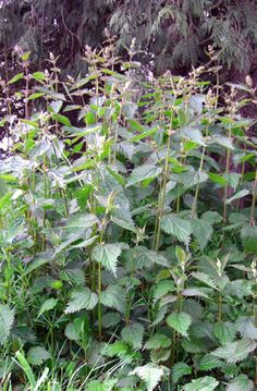 Nettles: Glorious Green! Another good article