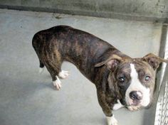 Star: Pit mix beauty needs a rescue or foster to save her life