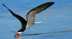 Black Skimmer  Rynchops niger  Common permanent resident