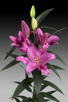 Oriental Lily 'Aya Sophia'