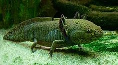 Axolotl-critically endangered.