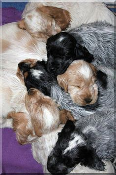 A big pile of English Cocker Spaniel puppies. English Cocker Spaniel Puppies, Blue Roan Cocker Spaniel, American Cocker Spaniel, English Spaniel, Cairn Terrier, Scottish Terrier, Cute Dogs Breeds, Dog Breeds, Cocker Bebe