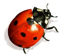Illustration animale la coccinelle Lady Bug Drawing, Bugs Drawing, Bookish Tattoos, Garden Poles, Carapace, Stone Crafts, Animal Sketches, Pebble Painting, Flying Insects