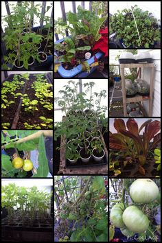 From the greenhouse...January 22, 2015   Lots of goodies growing in the greenhouse.