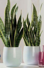 Sanseveria, retro plant