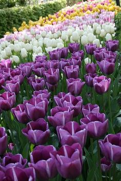 A mystical shade of purple flowers on a beautiful flower can completely change the look and appeal of your home, garden, bouquet, wallpaper and even wedding decoration. tall dark purple flowers pictures names My Flower, Purple Flowers, Spring Flowers, Beautiful Flowers, Tulips Garden, Planting Flowers, Dream Garden, Beautiful Gardens, Mother Nature