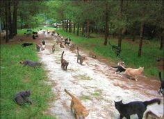 Caboodle Ranch is a 100-acre cat sanctuary created by a certain Craig Grant, in 2003. This paradise for cats is located in Ponte Vedra Beach, Florida. It is now home to over 500 happy cats.     This huge natural shelter for homeless cats is composed of lots of little houses, a city hall, a church, a water mill, ponds…     A lot of hard work for Craig Grant, but he is very happy like that with his cat army!