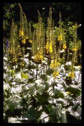 Ligularia stenocephala 'The Rocket' - Ligularia