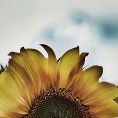 Sunflower  by naomimeran