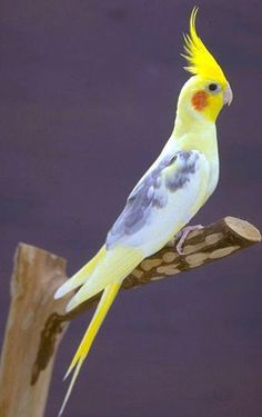 Resultado de imágenes de Google para http://www.forodefotos.com/attachments/fotos-de-aves/14150d1287027835-aves-exoticas-aves-exoticas-cotorra.jpg